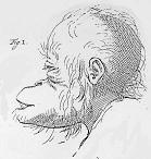 Camper's drawing of an orangutan